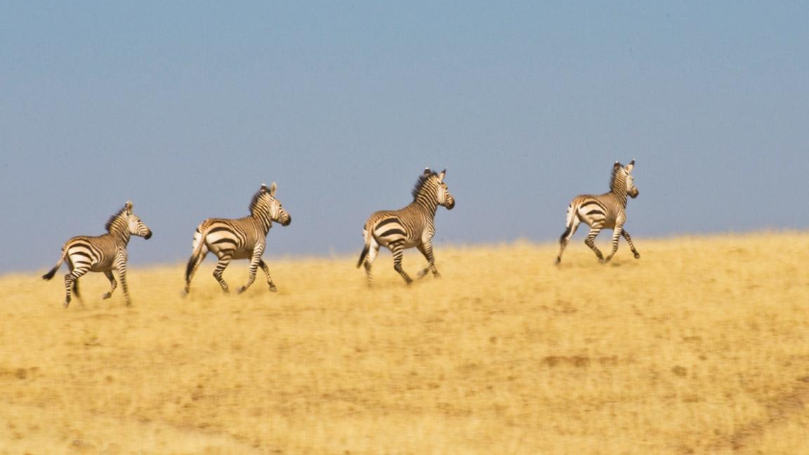 Hartmann Zebras im Damaraland