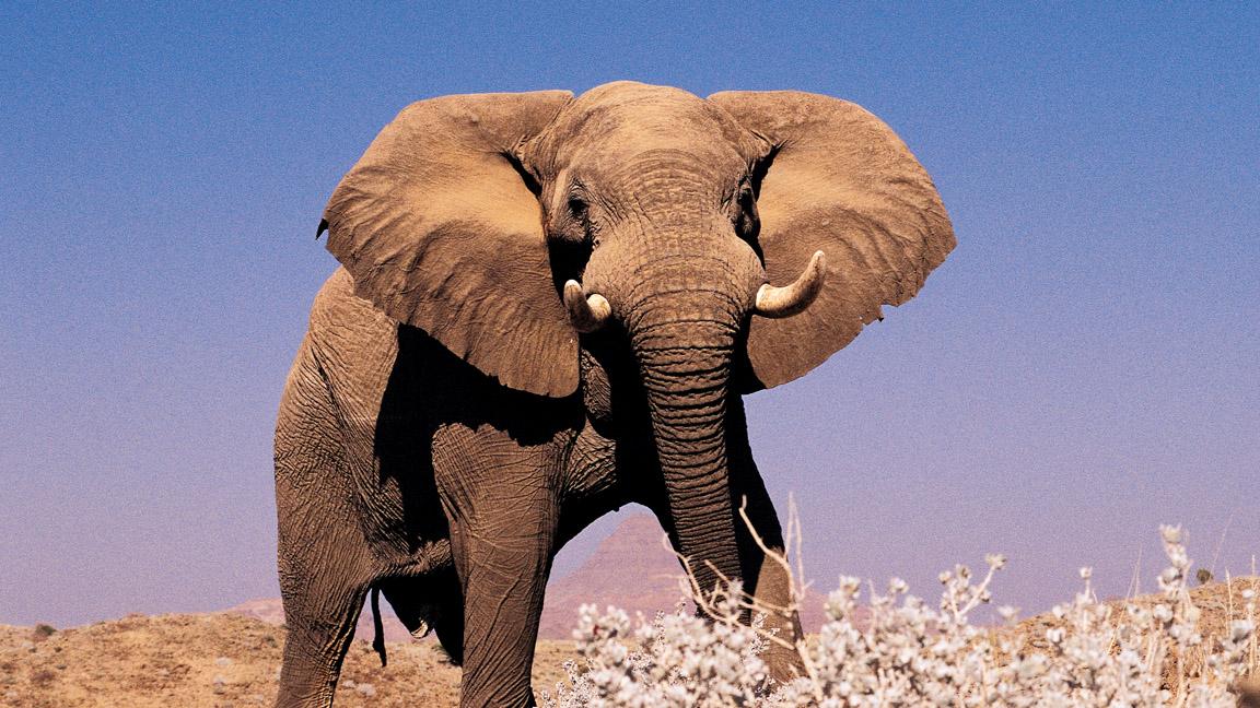 Namibia Wüstenelefant