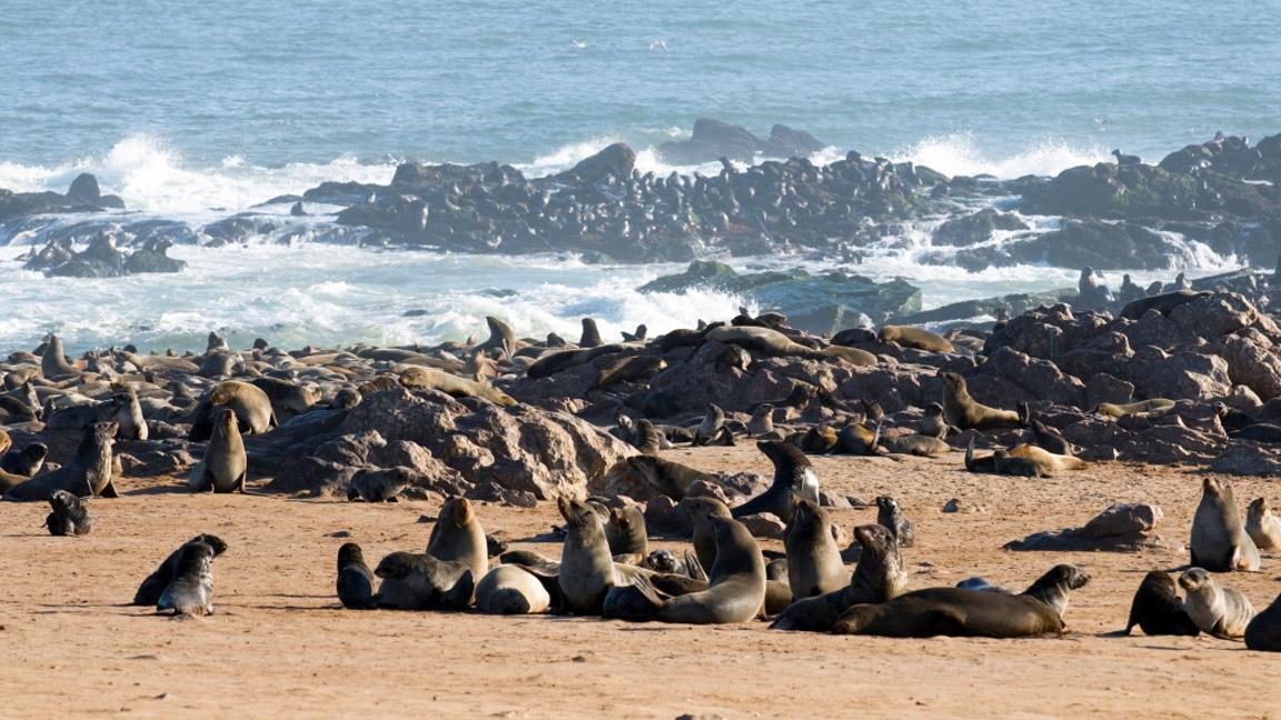 Robbenkolonie in Namibia