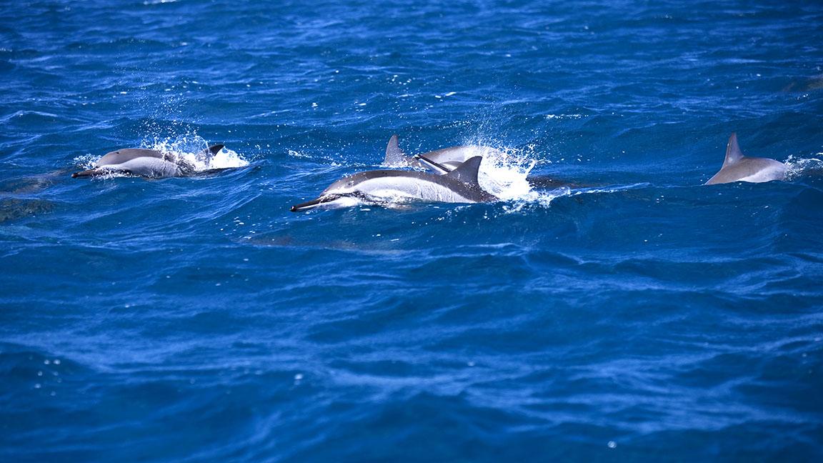 Delfine vor Mauritius