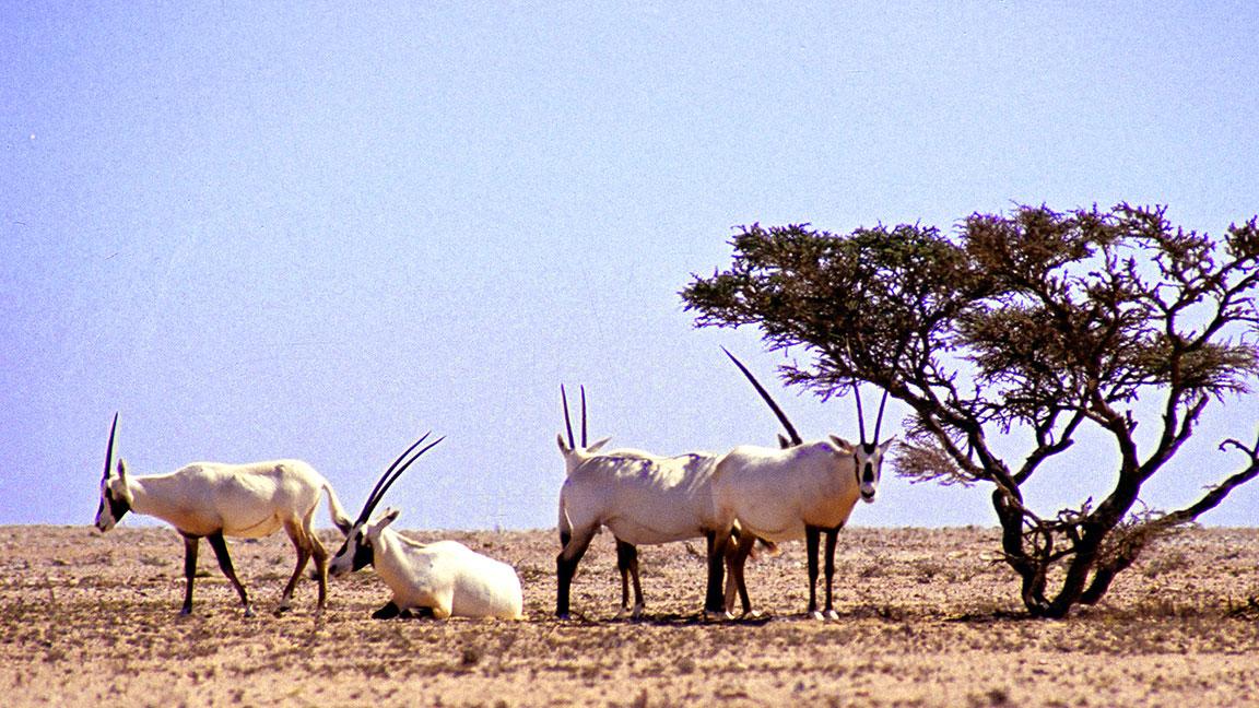 Wilde Tiere bei Oman Reisen