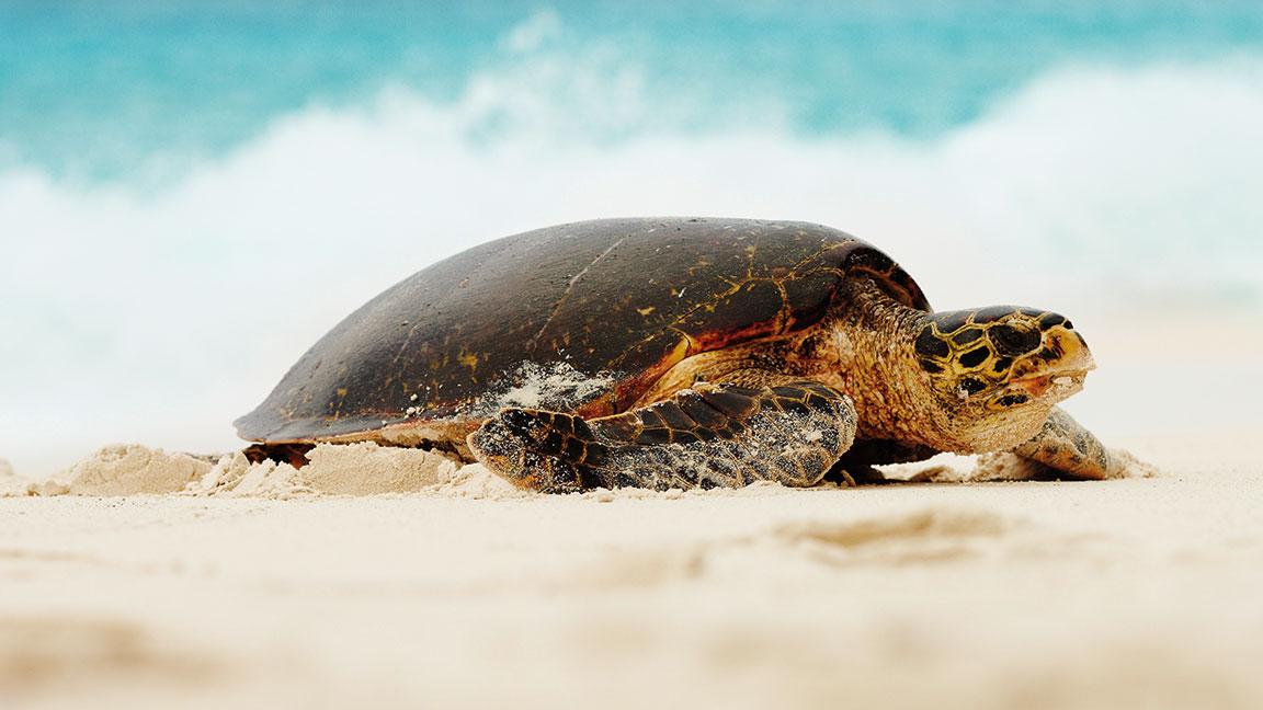 Fregate Island Private schildkröte