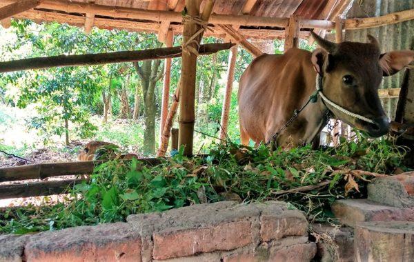 Hütte eines Farmers auf Bali mit Kuh