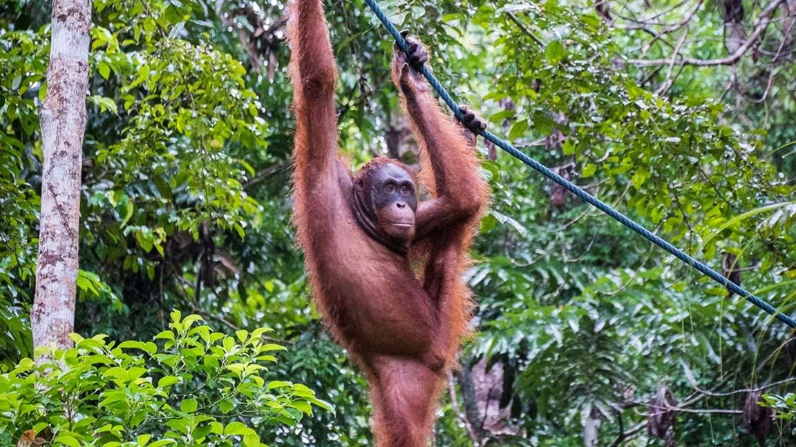 Orang Utan in den Wäldern Malaysias