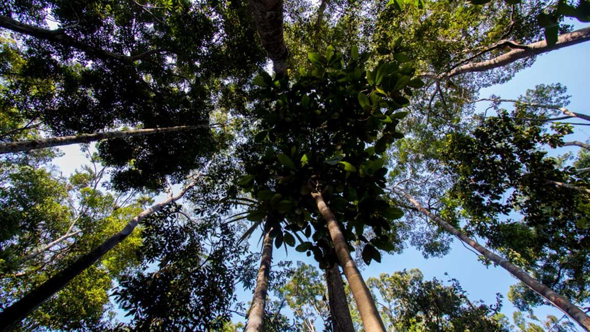 Blick in das Blätterdach von Bäumen während Malaysia Reise