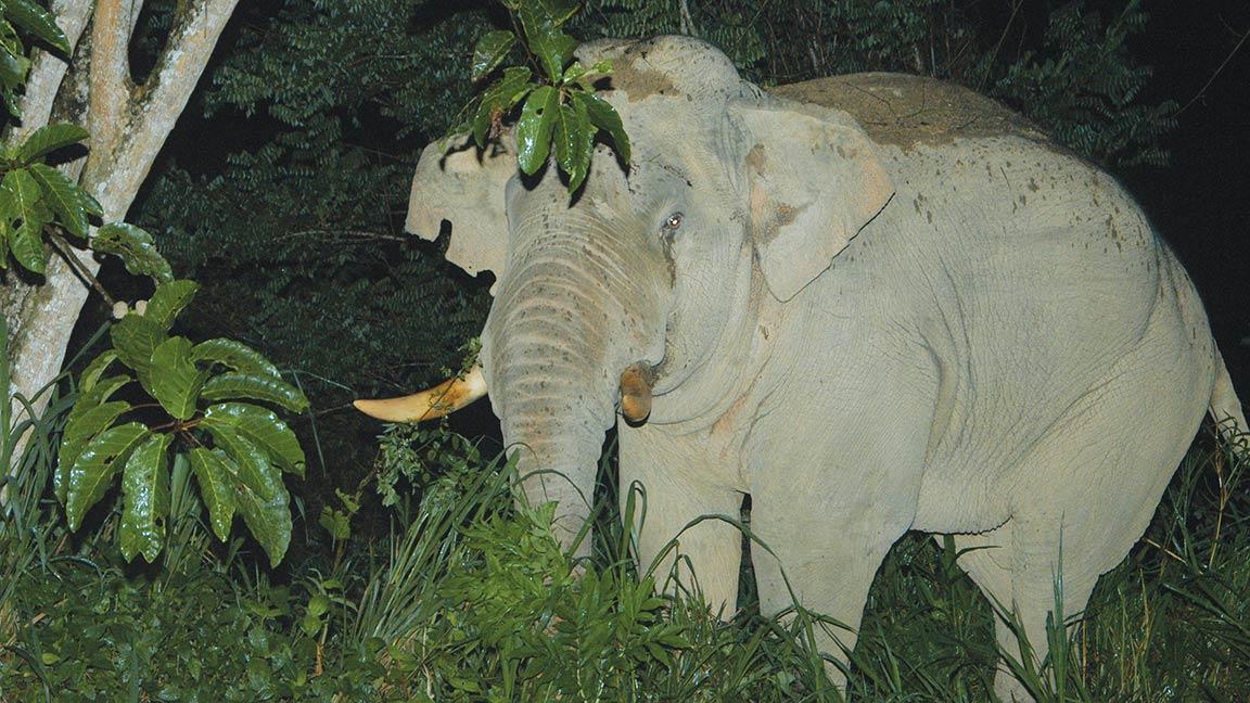 Elefant im Unterholz