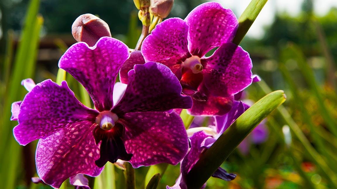 Orchideen Blüten währnend Malaysia Reise