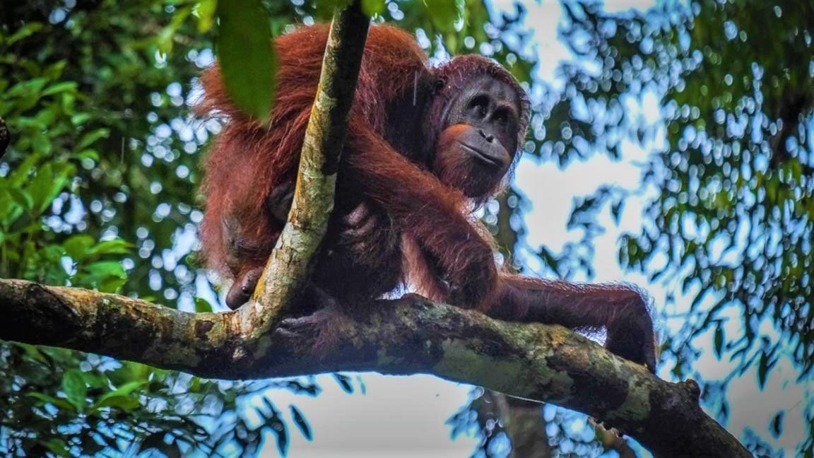 Orang Utan auf einem Baum in Malaysia