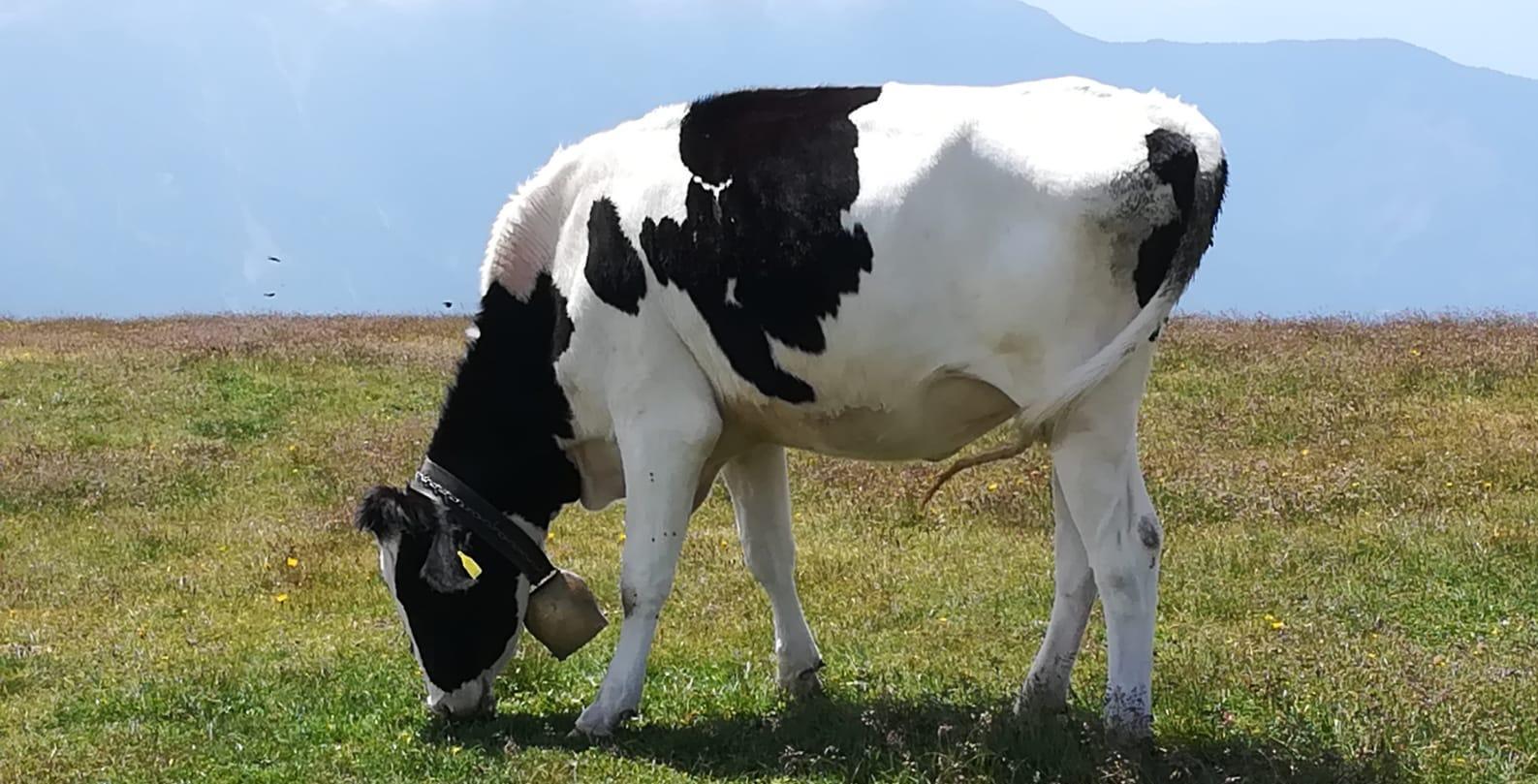 Kuh grasend auf Almwiese