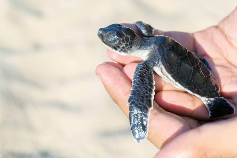 Babyschildkröte auf der Hand