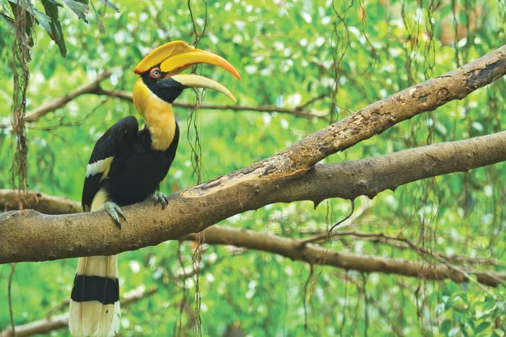 Grosser gelber Hornbill