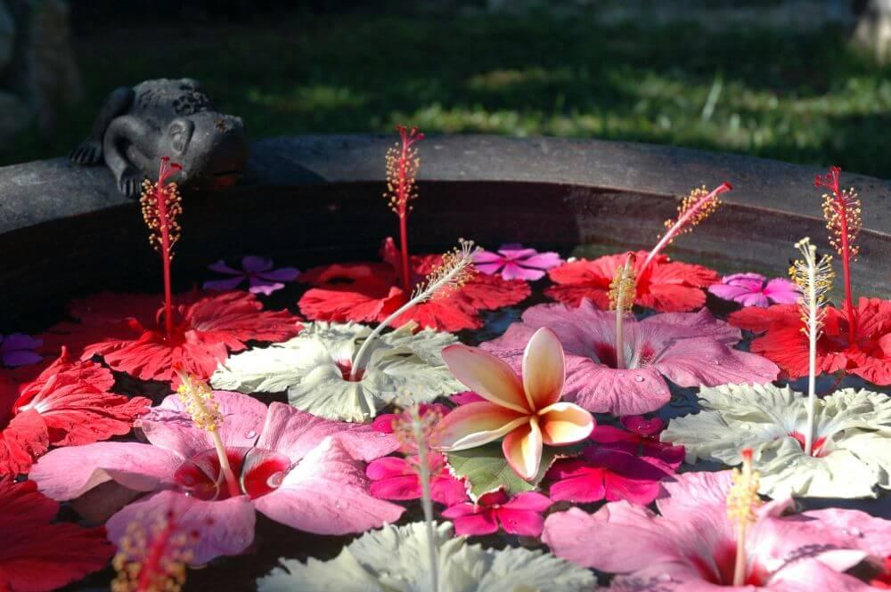 Hibiskusblüten im Teich