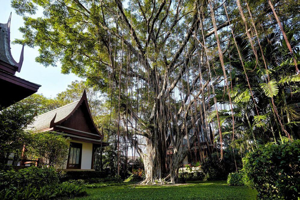 riesiger Baum mit hängenden Wurzeln