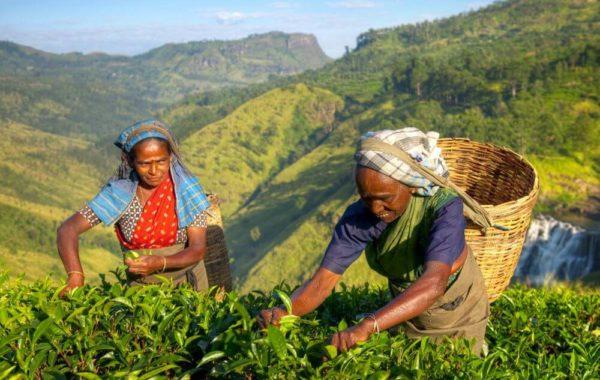 zwei Frauen beim Tee pflücken in Nuwara Eliya