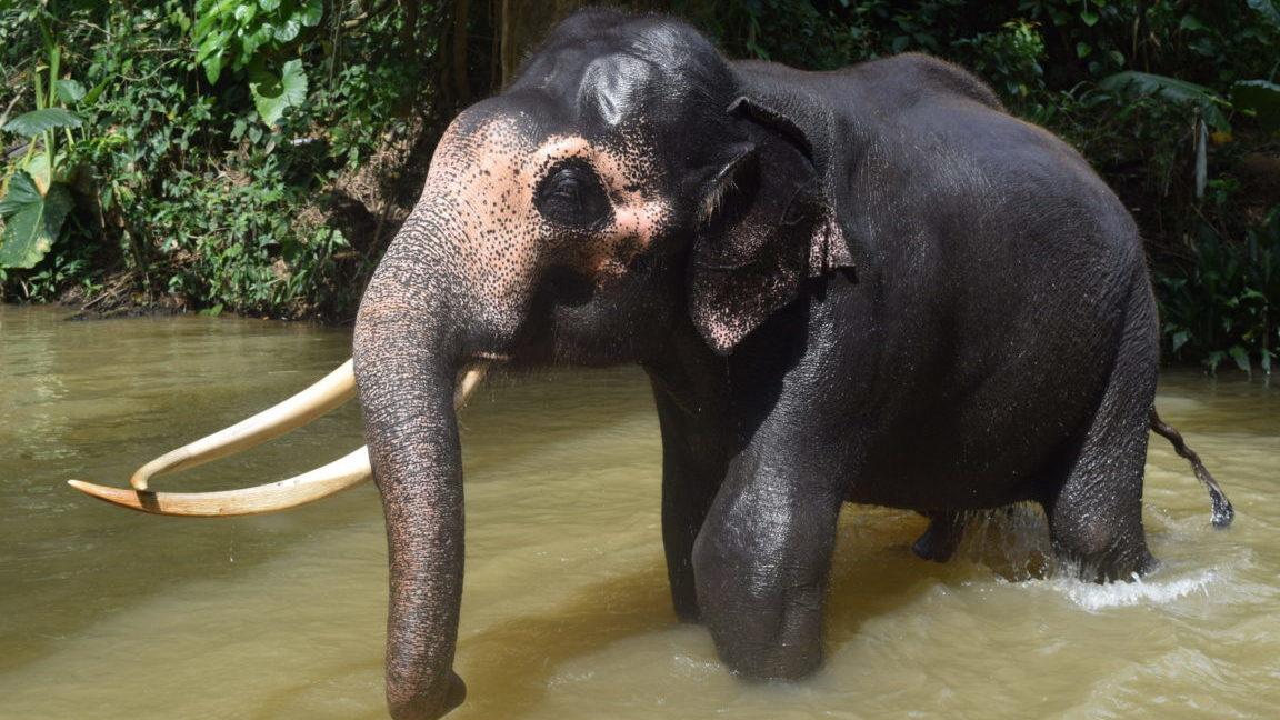 Elefant in Kandy, Sri Lanka