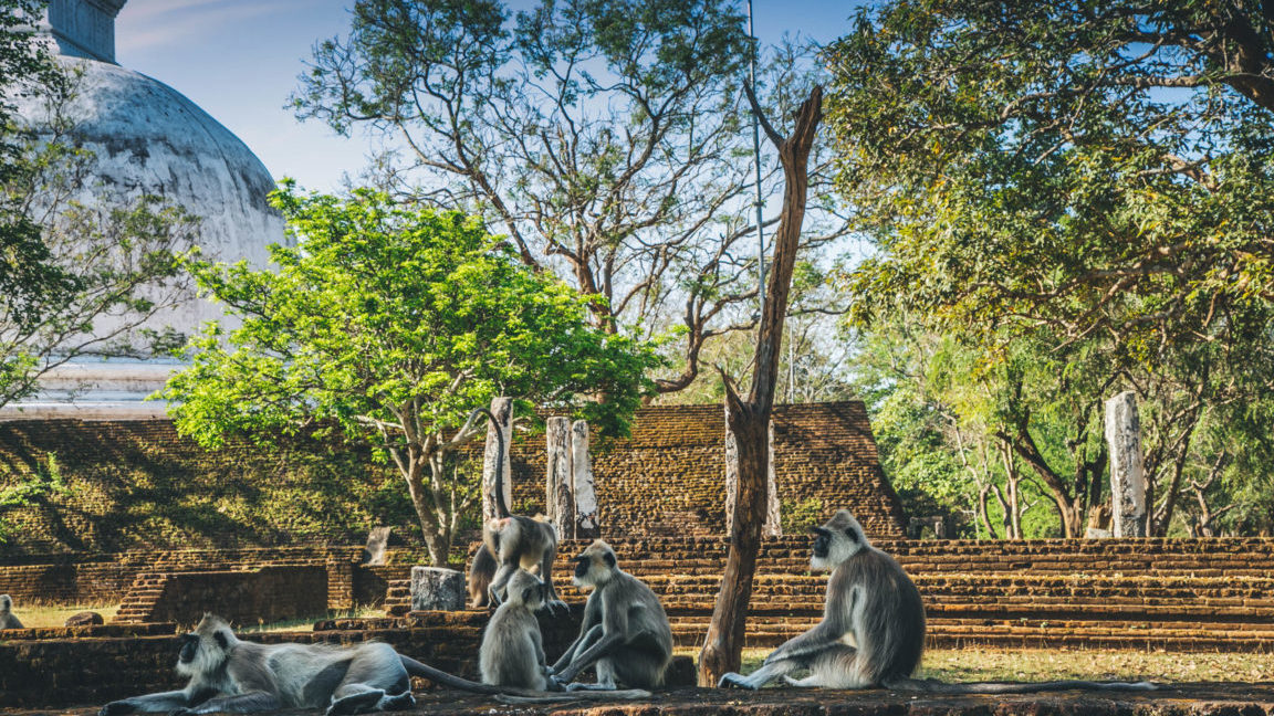 Tempelaffen auf Sri Lanka