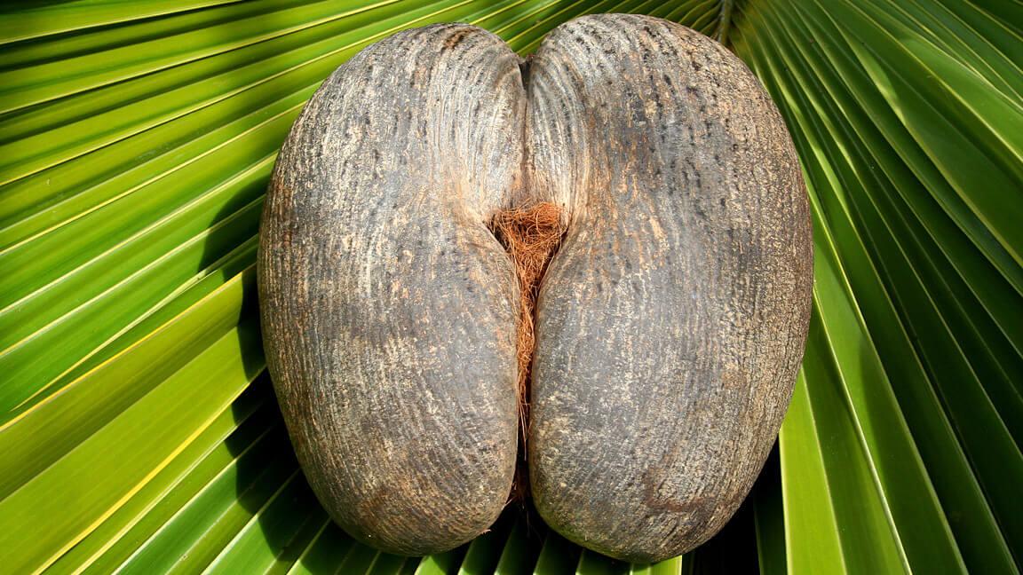 Kokusnuss auf den Seychellen