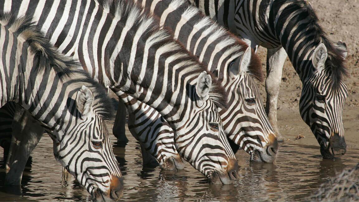 Safari Botswana Reise Zebras